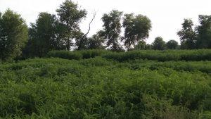 Ghotki (Sindh) Farm with lush green fodder